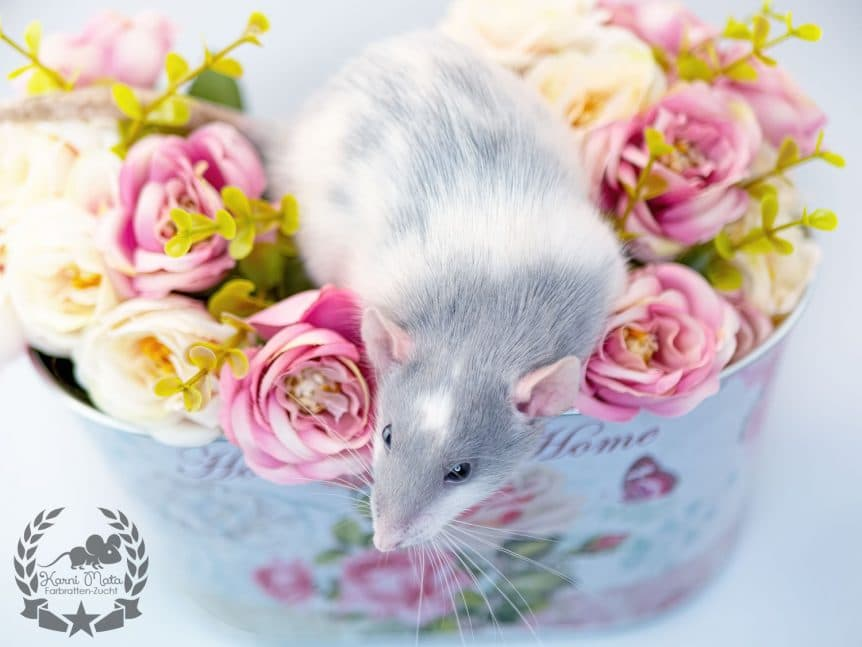 Orinoco Farbratte Fancyrat Russian Blue Silvermane Variegated Headspot Dumbo