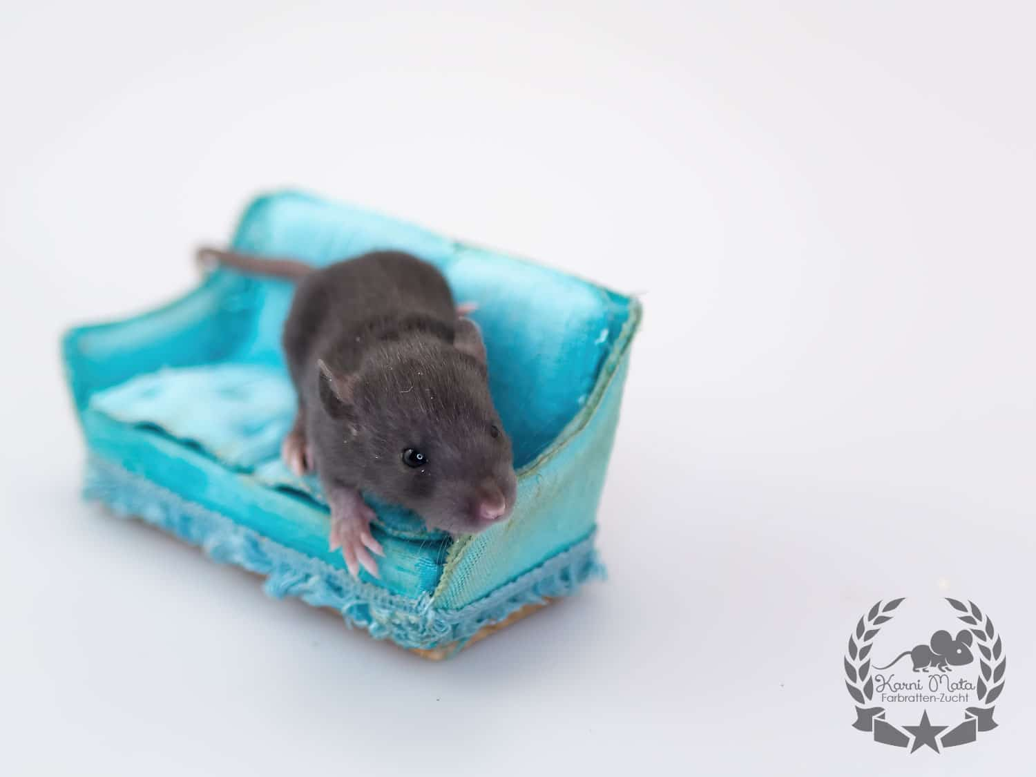 Mira KM J4 f 08, Farbratte (Fancyrat) Black Silvermane Self