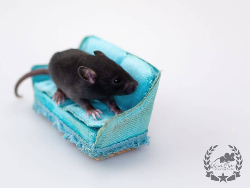 Regulus KM J4 m 07, Farbratte (Fancyrat) Black Self