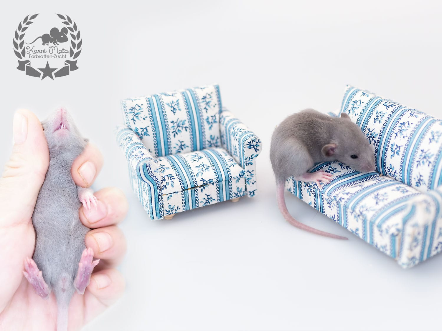 Ifirn KM K4 f 02, Farbratten (Fancyrat) Russian Blue American Irish Silvermane Dumbo