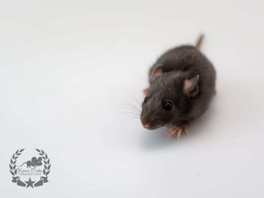 Liliana KM L4 f 03, Farbratte (Fancyrat) Black Silvermane Self