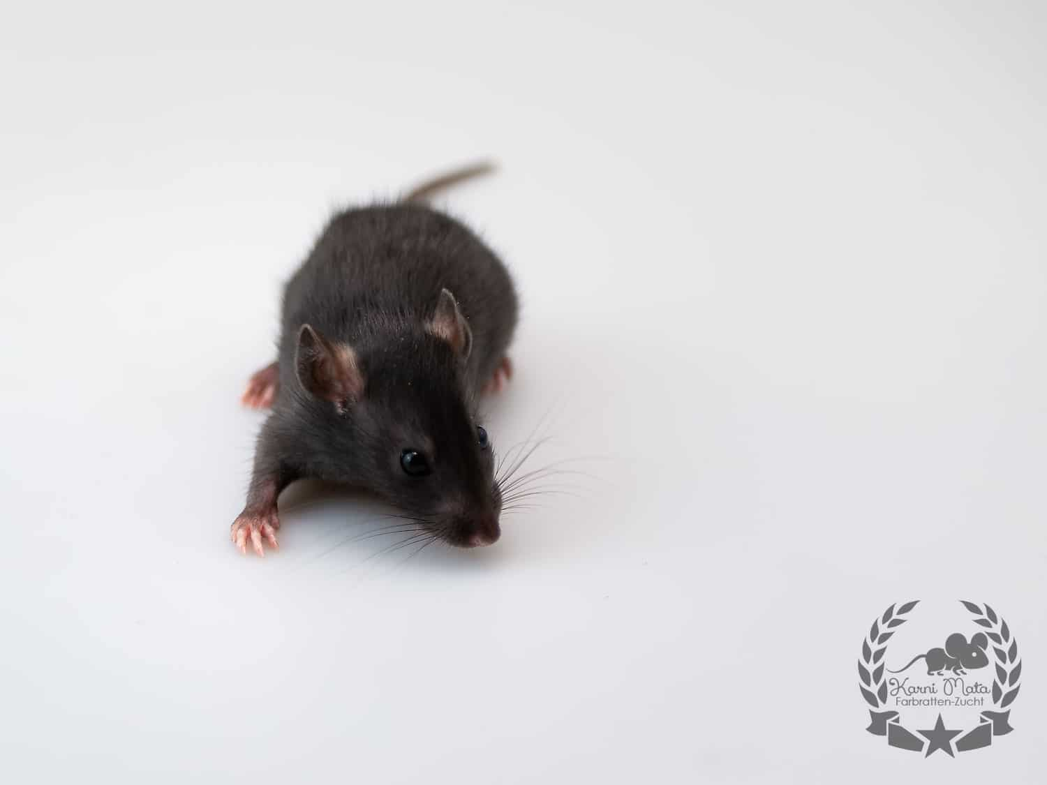 Tamiyo KM L4 f 07, Farbratte (Fancyrat) Black Self