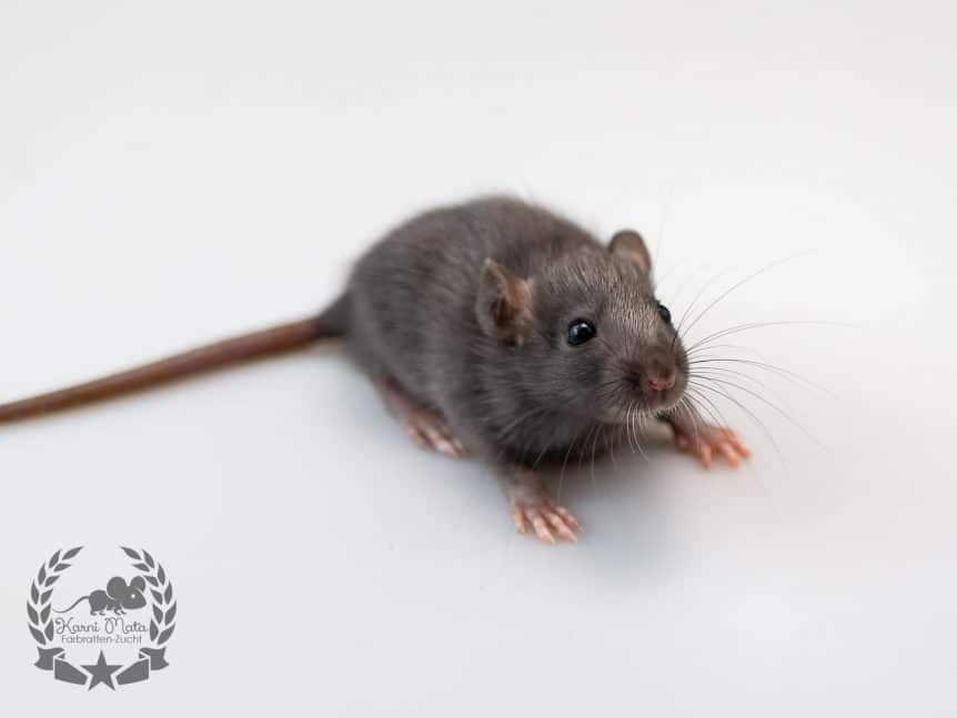 Teferi KM L4 m 02, Farbratte (Fancyrat) Black Silvermane Self
