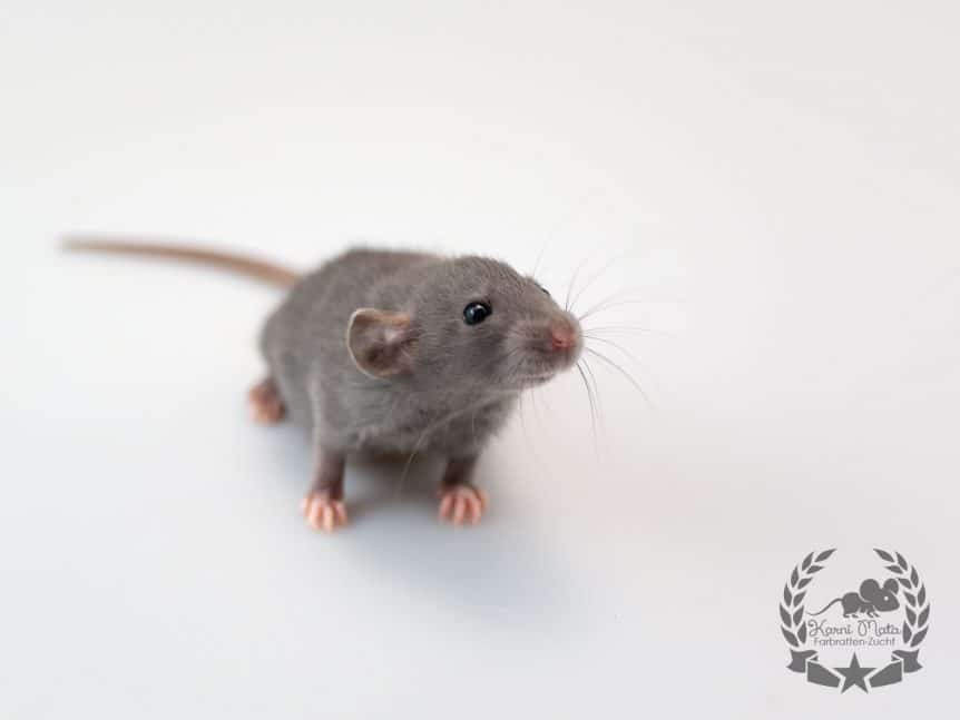 Vrasha KML4f01, Farbratte (Fancyrat) Russian Blue Self Dumbo