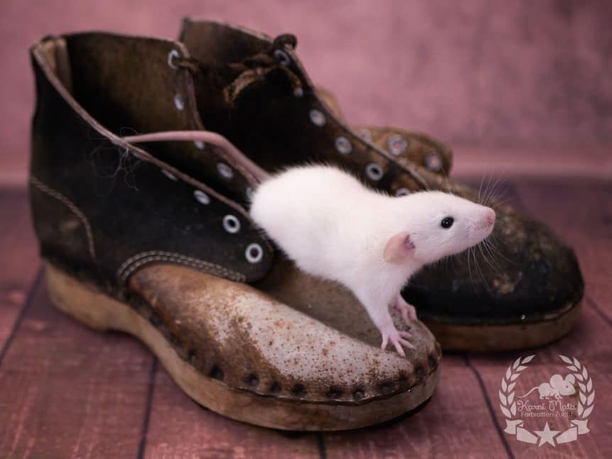 Snu KMU4m03, Farbratte (Fancyrat) Light Dumbo