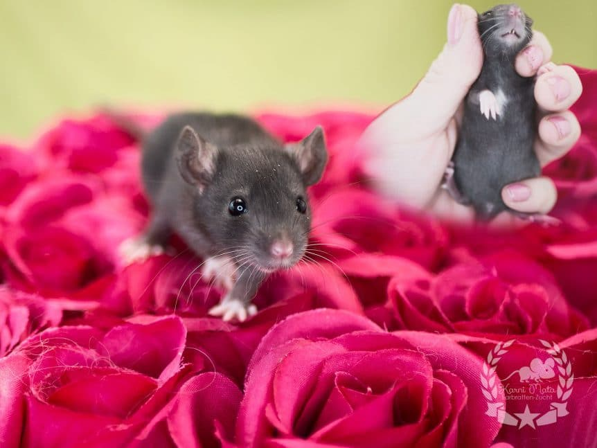 Annabelle KMX4f02, Farbratte (Fancyrat) Black English Irish Dwarf