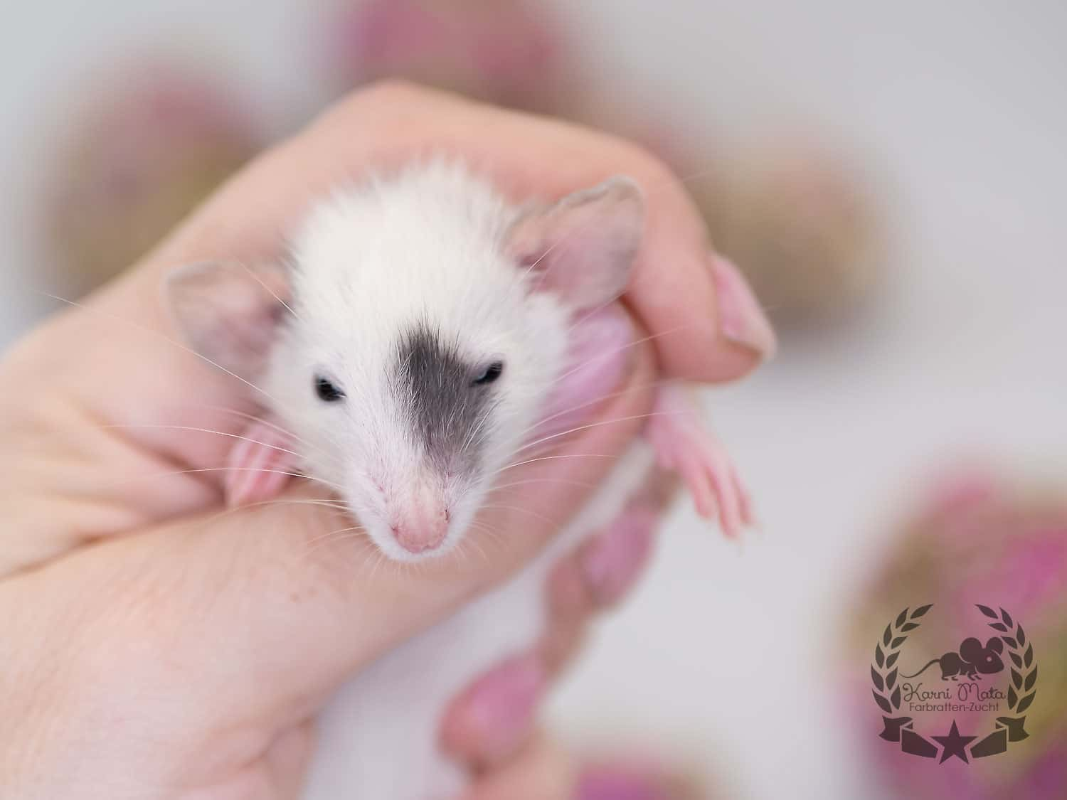 Drosselbart KMB5m07, Farbratte (Fancyrat) Black Patched Dumbo