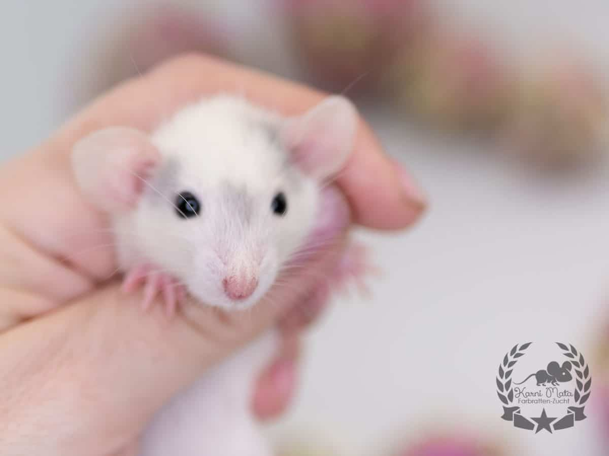 Jorinde KMB5f10, Farbratte (Fancyrat) Russian Blue Capped Patched Mismarked Dumbo