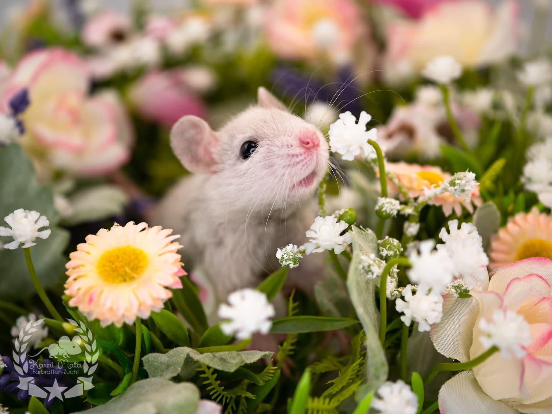 "Featured image for ""Zwerg-Ratten Quintett"""